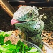 "Iguane vert ""Iguana Iguana"" Mâle - Adulte"