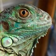 "Iguane vert ""Iguana Iguana"" - Juvénile"