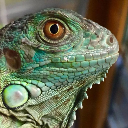 "Iguane vert ""Iguana Iguana"" - Jeune 2017"