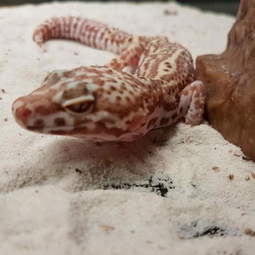 "Gecko léopard ""Eublepharis Macularius"" Femelle - Adulte"
