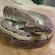 "Python royal ""Bumblebee"" mâle pinstripe - Jeune"