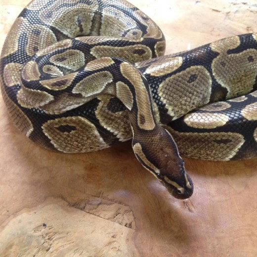 Python royal mâle - Jeune