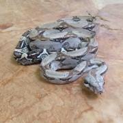 Boa constricteur mâle- Jeune