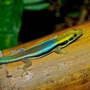 Gecko Phelsuma Klemmeri
