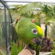 """Mâle - Amazone à front jaune """"Ochrocephala panamensis"""" - bague 0017"""