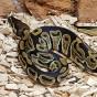Python Royal mâle ou femelle - Jeune