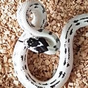 Lampropeltis Californiae hight white mâle - Jeune