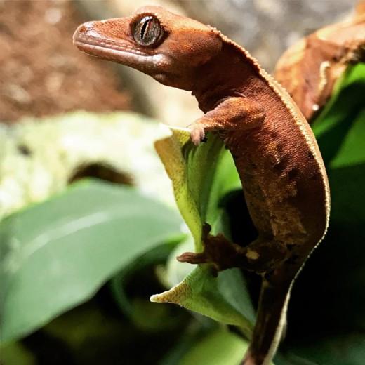 "Gecko à crête "" Rhacodactylus ciliatus"" - Jeune 2017"