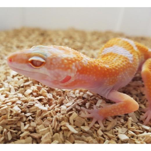 "Gecko léopard ""Eublepharis Macularius"" - Jeune 2017"