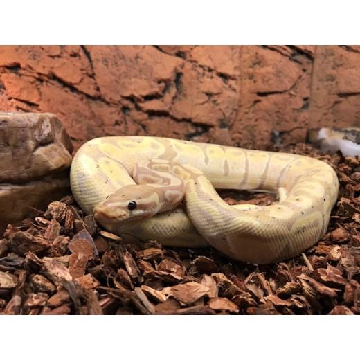 """Python royal """"Python Regius"""" Piebald Mâle"""