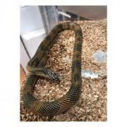 "Serpent roi d'Apalachicola ""Lampropeltis getula goini"""
