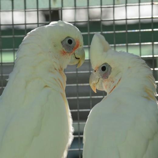 Cacatoès à œil nu - Couple indissociable - EPP