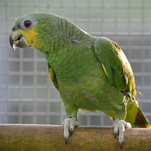 """Amazone à ailes oranges """"Amazona amazona """" - Femelle EPP - Bague 0001"""