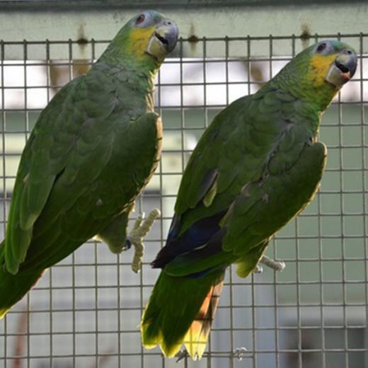 "Amazone à ailes oranges ""Amazona amazona "" - Couple EPP - Bague 0002 / 0001"