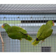"Amazone à front blanc ""Amazona albifrons nana"" - Couple EPP - Bague 004 et 005"