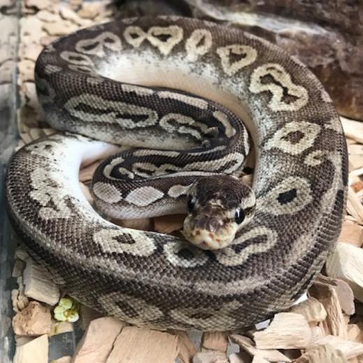 """Python Royal """"Python Regius"""" Pewter - Jeune"""