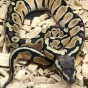 """Python Royal """"Python Regius"""" Pastel - Jeune"""