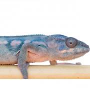"Caméléon panthère Ambilobe blue bar red ""Furcifer pardalis"" Mâle"