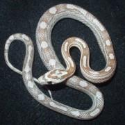 Pantherophis guttatus Motley femelle - Jeune