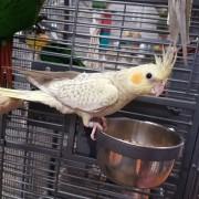 Calopsittes panachée jaune - Bague 001