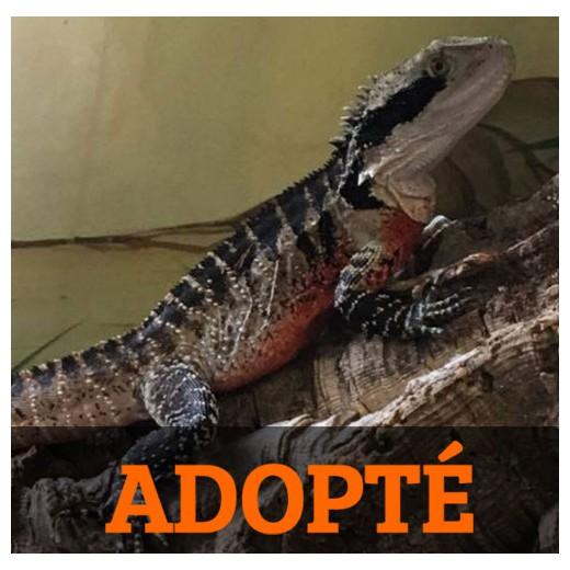 "Dragon d'eau australien ""Physignatus lesueurii"" Mâle - Adulte"