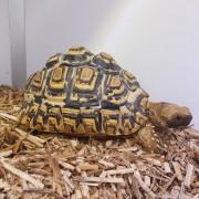 "Tortue léopard "" Stigmochelys pardalis babcocki "", 5-7cm"