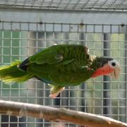 "Amazone de cuba "" Amazona Leucocephala"" - Mâle EAM - Bague 009"
