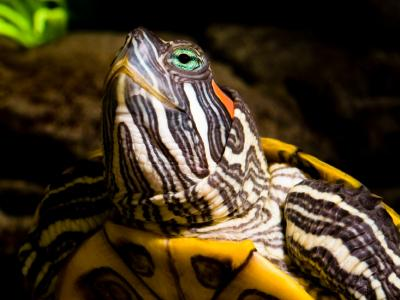 Pourquoi Une Lampe Chauffante Pour Une Tortue D Eau Envies Animales