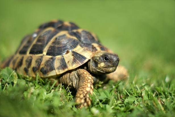 Quelle tortue de terre est faite pour moi envies animales for Amenagement jardin pour tortue
