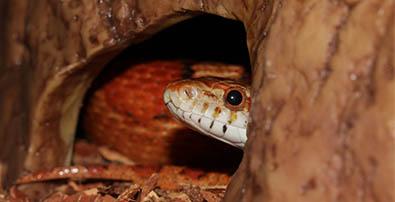 Que faire de mon serpent pendant les vacances envies animales le serpent est un animal qui stresse facilement lorsquil change denvironnement pour viter ce stress il vaut mieux le laisser dans son terrarium habituel mozeypictures Image collections
